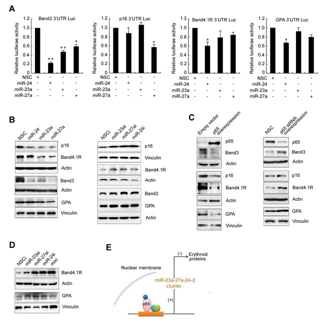 The miRNAs mediates p65-dependent suppression of band3, p16, band 4.1R and GPA expression.
