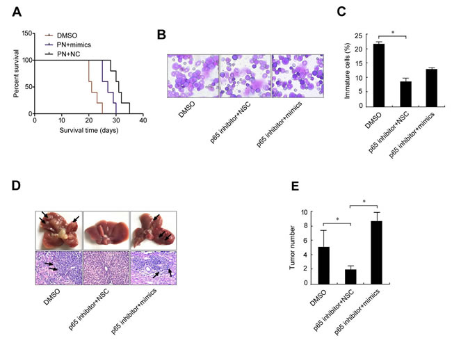 MiRNA mimics interfere the treatment effect of p65 inhibitor parthenolide on erythroleukemia mice.