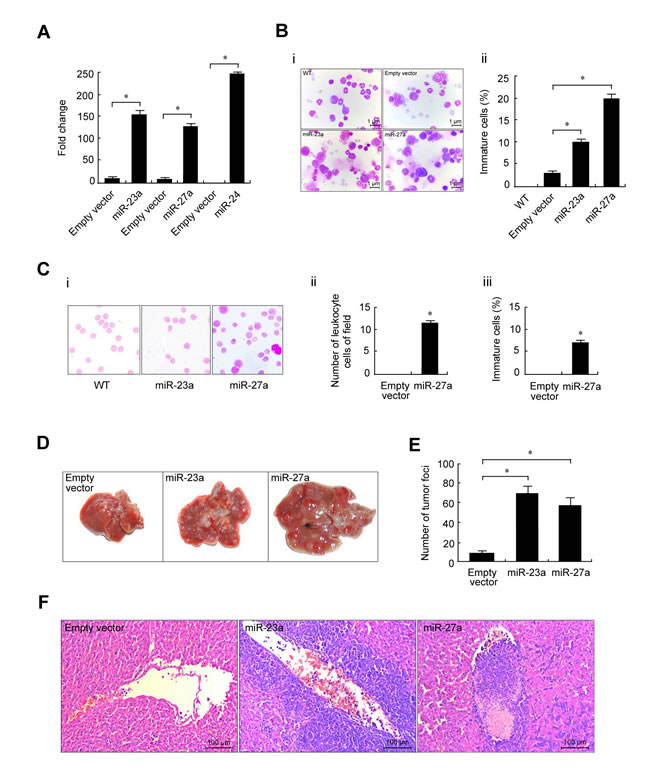 Stable overexpression of miR-23a, miR-27a and miR-24 promoted mouse erythroleukemia progression.