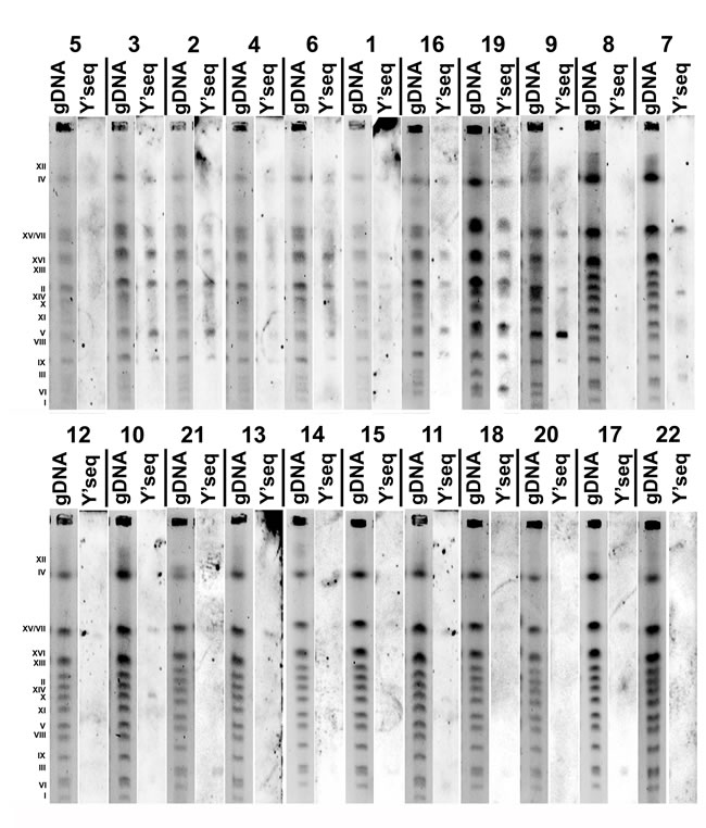The presence of Y' telomeric sequences in twenty two distillery yeasts (categories from 1 to 22, lane gDNA: chromosome pattern of an individual strain, lane Y' seq: Y' telomeric sequences) detected using Southern blot using Y' telomeric sequence probes.