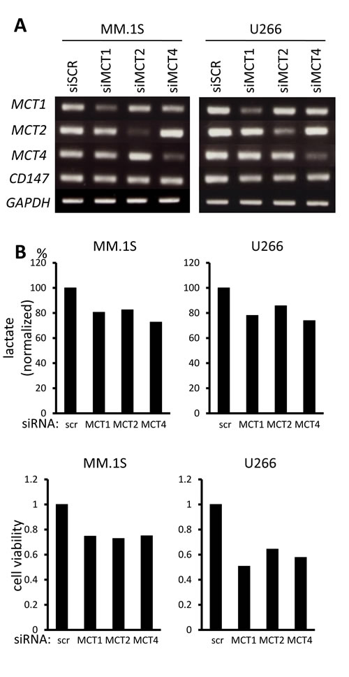Contribution of individual MCT molecules to lactate export and survival in MM cells.
