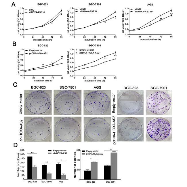 HOXA-AS2 promotes GC cell proliferation