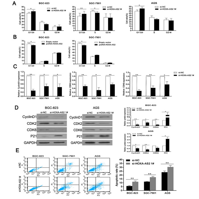 Downregulation of HOXA-AS2 promotes G1 arrest and causes apoptosis in GC cells.