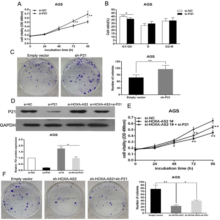 Down-regulation of p21 promotes AGS cells proliferation and is involved in the oncogene function of HOXA-AS2.