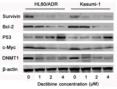 Apoptosis signal pathways were activated by decitabine in chemoresistant AML cells.