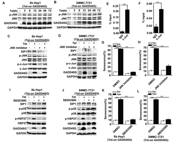 JNK but not p38 MAPK activation contributes to GADD45G-induced SIP1 upregulation.