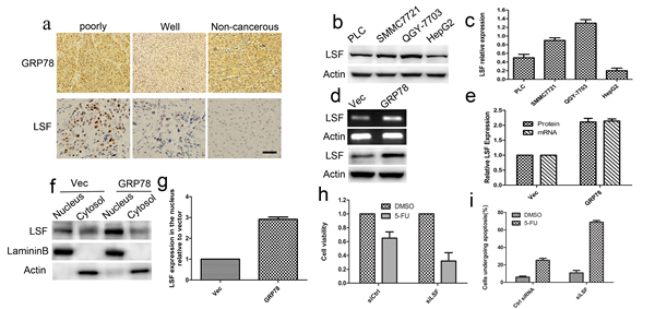 LSF is essential for GRP78 mediated resistance to 5-FU.