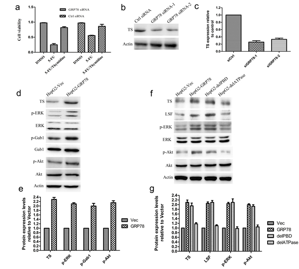 The LSF/TS axis is involved in GRP78 mediated 5-FU resistance in HCC.