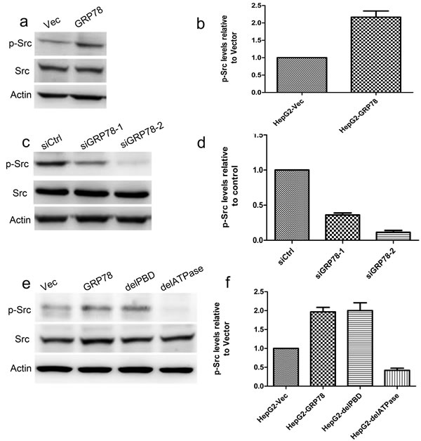 GRP78 promotes the phosphorylation of c-Src via its ATPase domain.