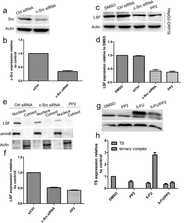 Targeting of c-Src decreased the LSF/TS axis.