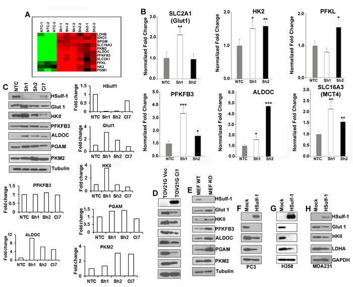 Absence of HSulf-1 augmented glycolytic key enzymes.