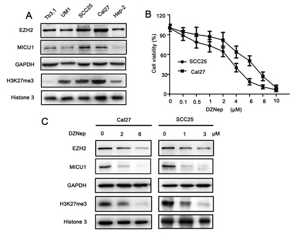 DZNep suppressed EZH2 function in HNSCC cell.