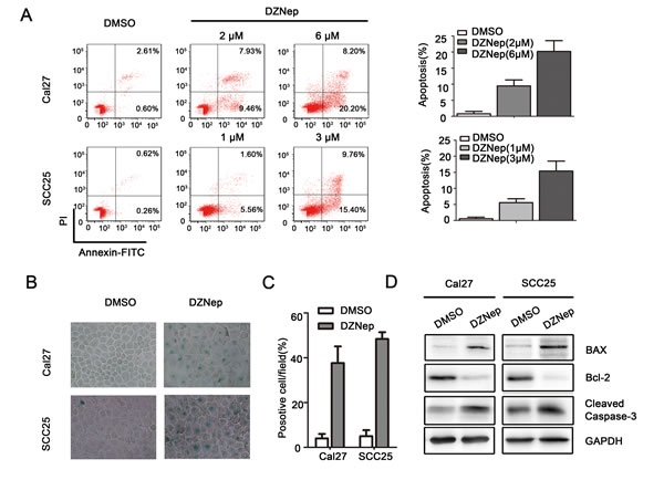 Targeting EZH2 induced apoptosis of HNSCC