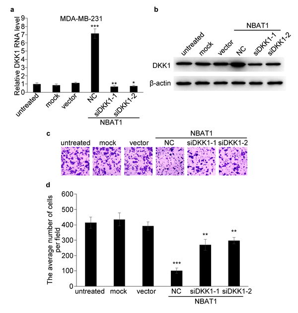 NBAT1 inhibits invasion of breast cancer cells by activating DKK1 expression.