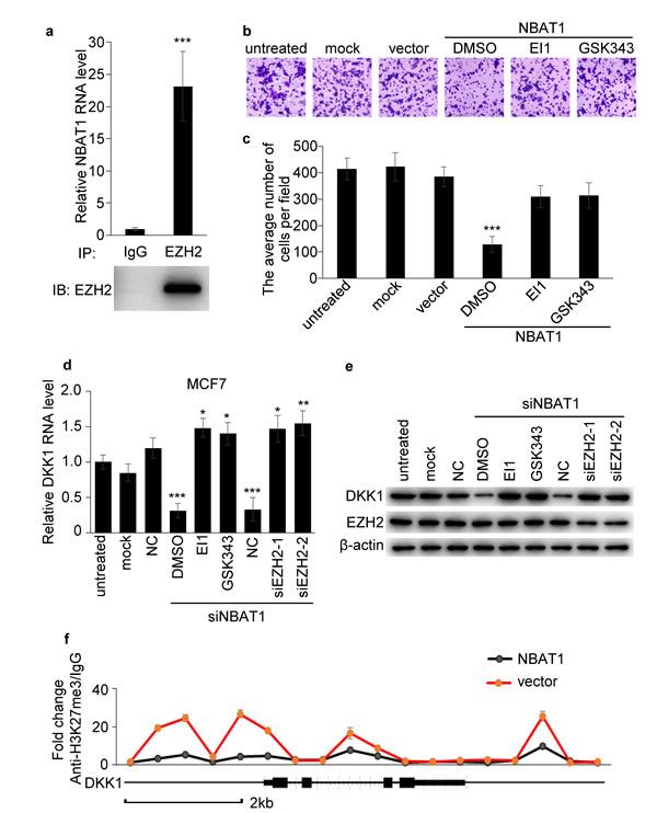 NBAT1 inhibits invasion of breast cancer cells via EZH2.