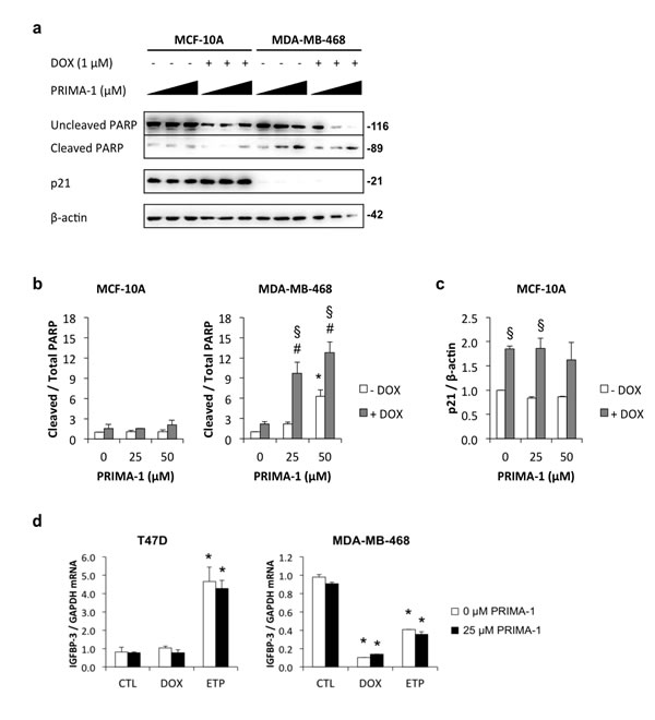 Induction of apoptosis by PRIMA-1 in MDA-MB-468 cells.