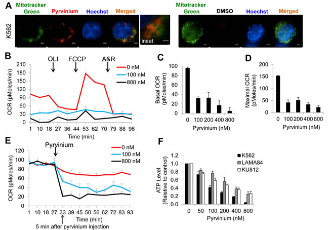 Pyrvinium localizes to the mitochondrial and blocks oxidative phosphorylation of CML cells.