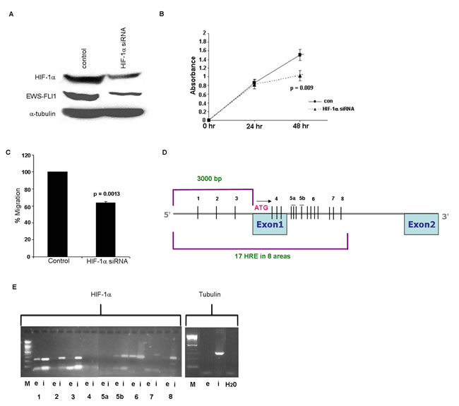 Silencing of HIF-1α gene and HIF-1α binding to EWS.