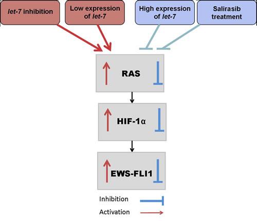 let-7/RAS/ HIF-1α /EWS-FLI-1 circuit in ES.