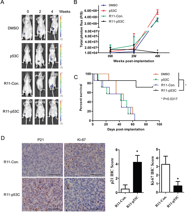 Systemic R11-p53C peptide administration inhibited orthotopical tumor growth.