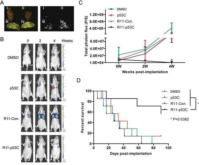 Systemic R11-p53C peptide administration inhibited T24 lung metastatic tumor growth.
