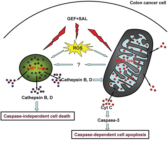 A model of cell death induced by gefitinib and salinomycin in combination.