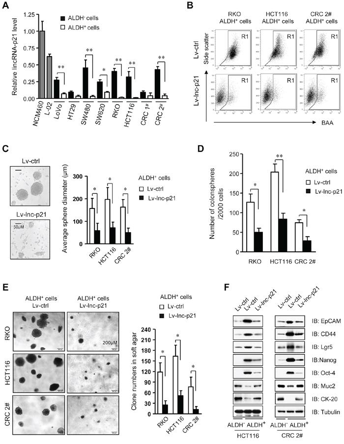 LincRNA-p21 represses stem-like properties and tumorigenicity of ALDH+ CSCs in vitro.