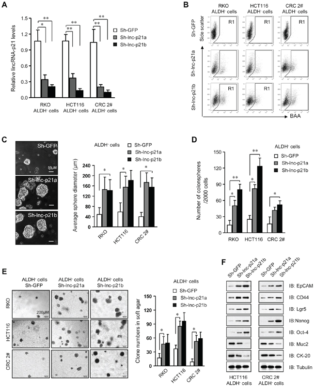 Knockdown of lincRNA-p21 enhances stemness and tumorigenicity of ALDH– CRC cells.