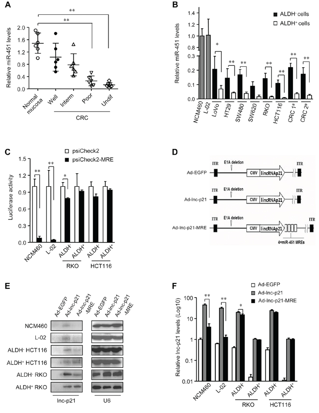 miR-451 MRE-regulated adenovirus specifically delivers lincRNA-p21 into CRC cells and CSCs.
