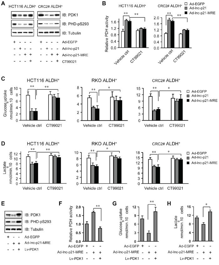 Ad-lnc-p21-MRE suppresses glycolysis of CSCs through downregulating β-catenin/PDK1 signaling axis.
