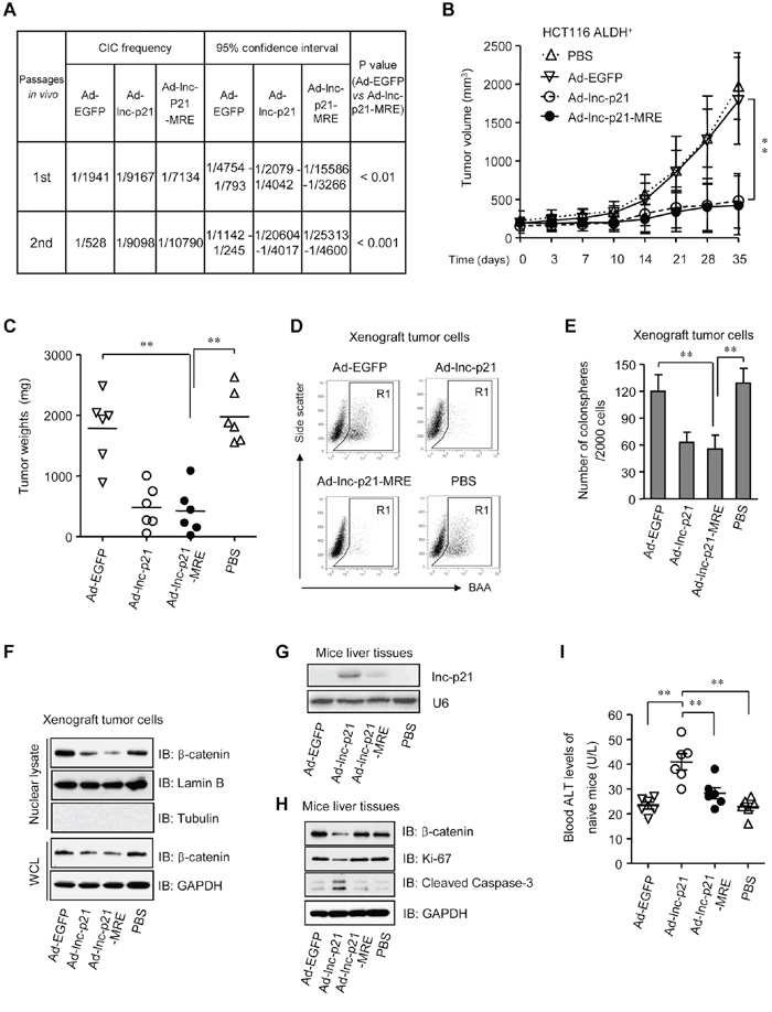 Ad-lnc-p21-MRE suppresses the growth and stemness of CSCs in nude mice and exhibits limited toxicities to normal tissues.