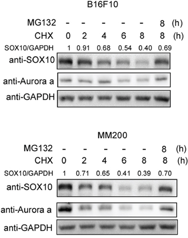 SOX10 is an unstable protein in melanoma cells.