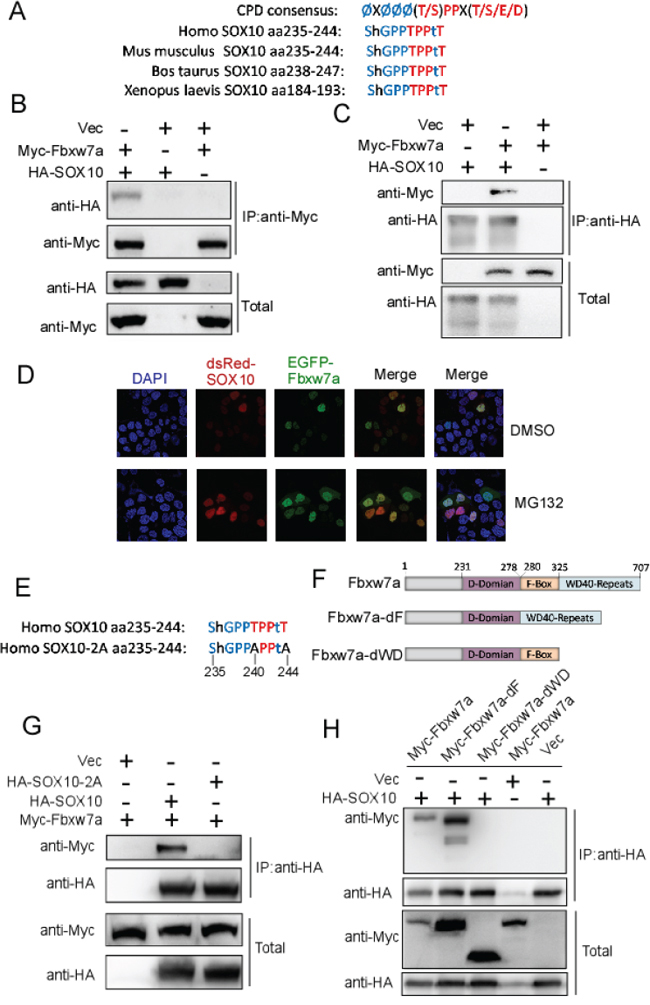 SOX10 is a potential substrate of Fbxw7α.