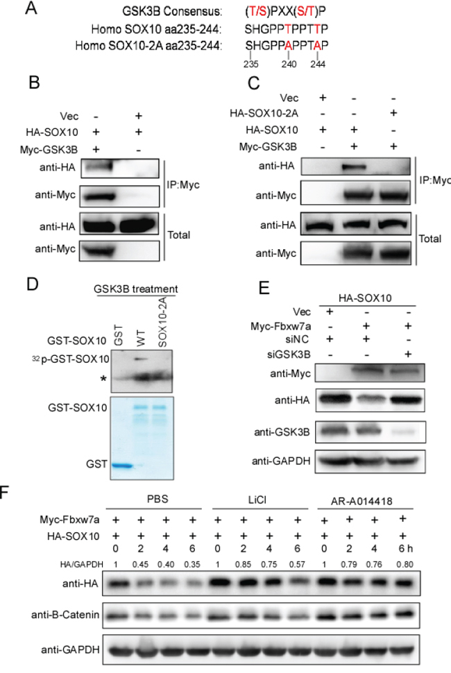 GSK3β is required for Fbxw7α-mediated SOX10 turnover.