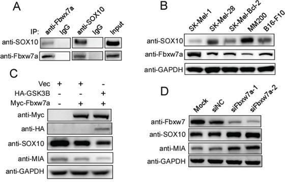 Fbxw7α regulates the SOX10/MIA signaling pathway.