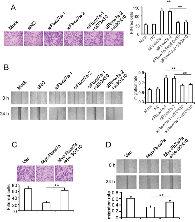 Fbxw7α suppresses cell migration through targeting SOX10 for degradation.