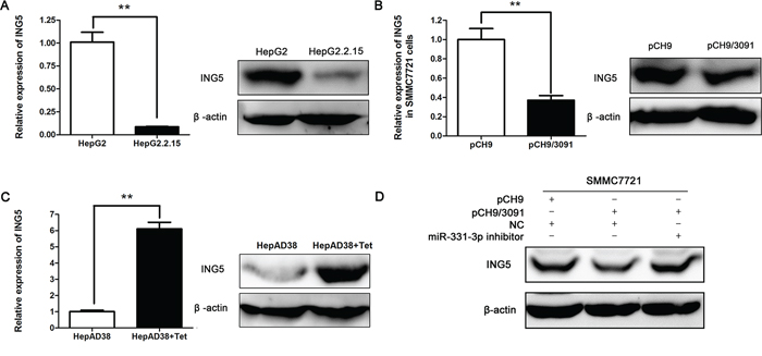 HBV represses ING5 expression by upregulating miR-331-3p.