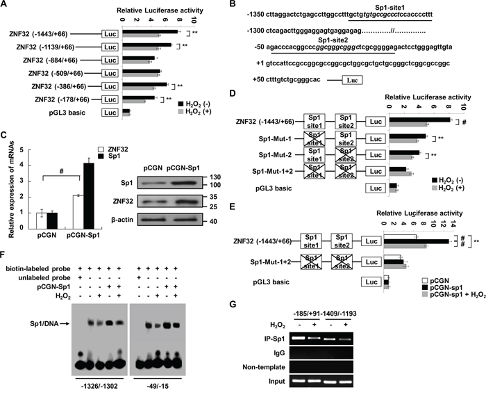 Sp1 transcriptionally regulates ZNF32 expression in response to oxidative stress.
