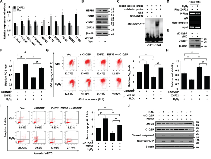 C1QBP is a target gene of ZNF32 that is required for the protective effects of ZNF32 on oxidative stress-induced apoptosis.