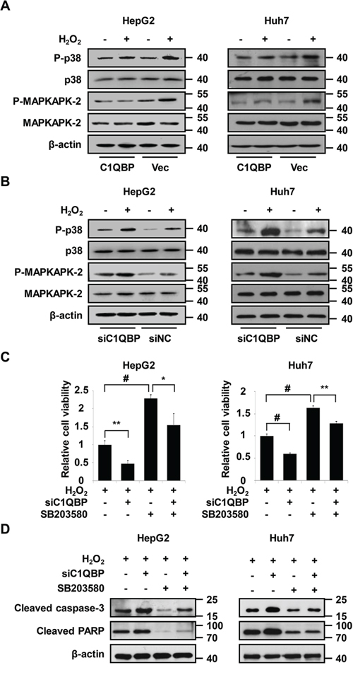 Activation of p38 MAPK is essential for C1QBP deficiency-mediated apoptosis under oxidative stress.
