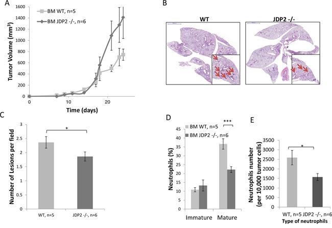 LLC-bearing mice harboring JDP2-deficient bone marrow exhibit reduced metastasis.