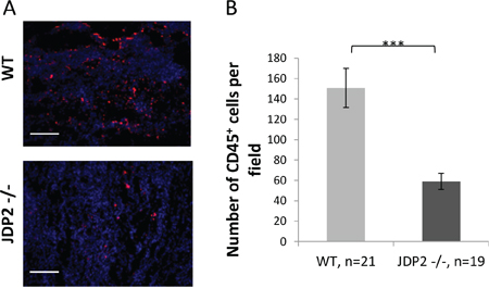 Wild-type BMDCs infiltrate into LLC tumors at a higher rate as compared with JDP2 −/− BMDCs.