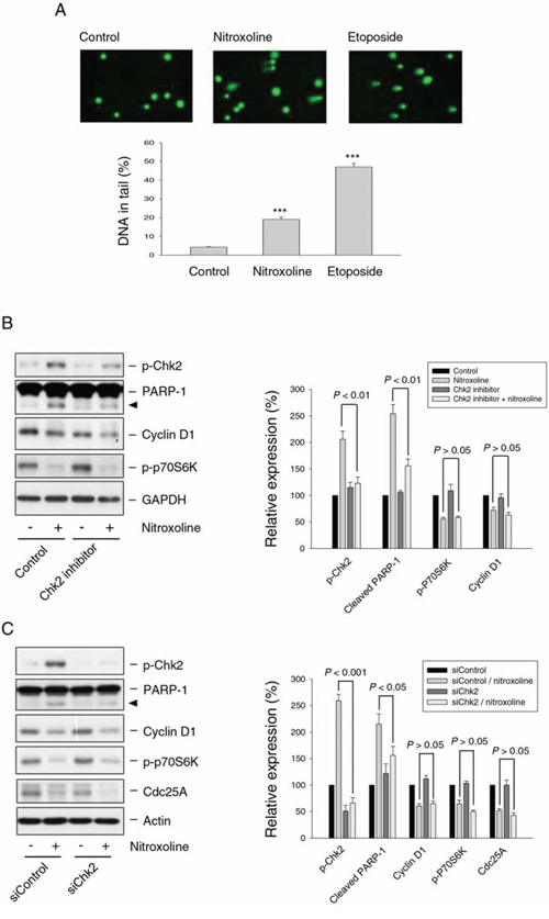 Effect of nitroxoline on DNA damage response and examination of Chk2-mediated protein expression.