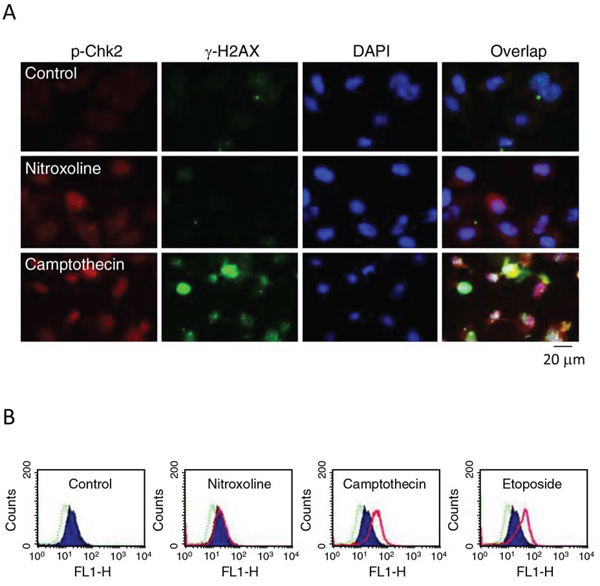 Effect of nitroxoline on protein expression of Chk2 and γ-H2AX. PC-3 cells were incubated in the absence or presence of nitroxoline (10 μM), camptothecin (10 μM) or etoposide (25 μM) for 24 hours.