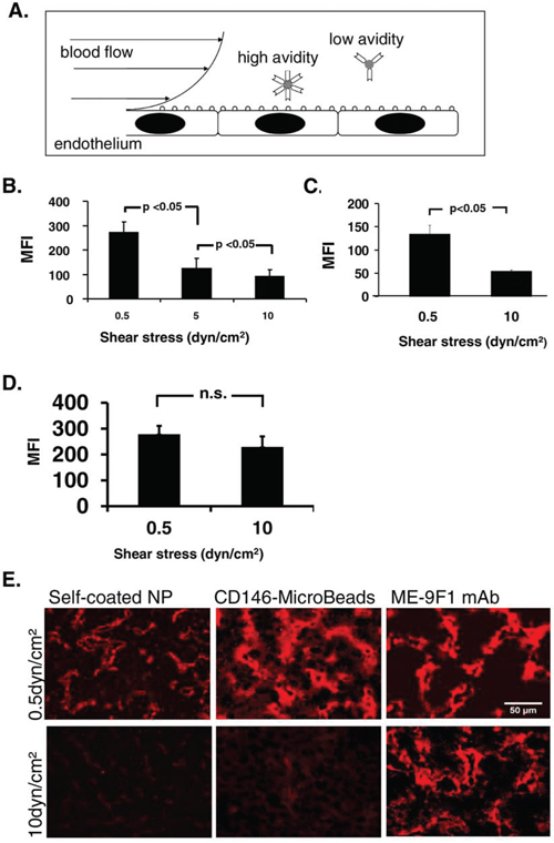 Influence of wall shear stress on nanoparticle binding to endothelium under flow.