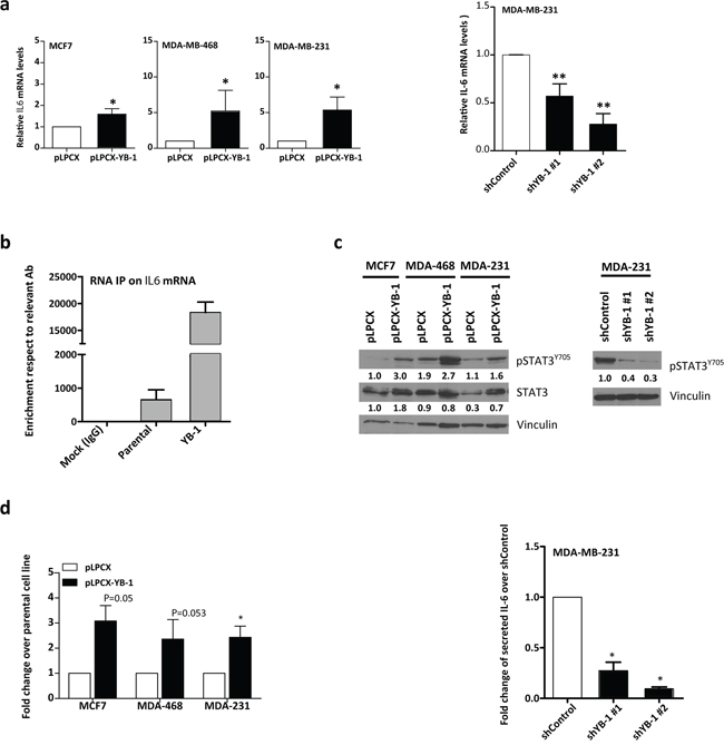 YB-1 drives IL-6 expression in breast cancer cell lines.