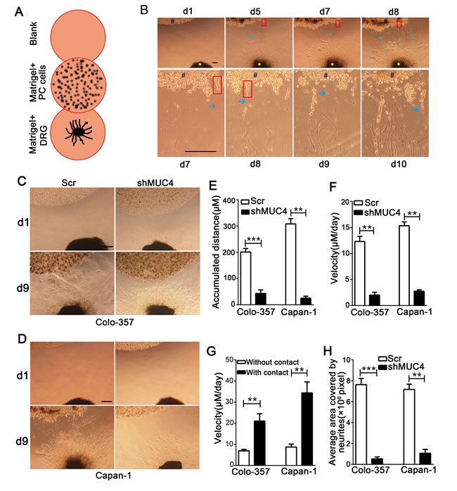 MUC4 knockdown suppresses the migratory ability along the nerve of PDAC cells in a DRG-tumor cell co-culture assay.