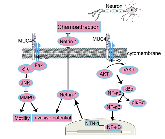 Schematic representation of the proposed mechanisms of MUC4-modulated NI.