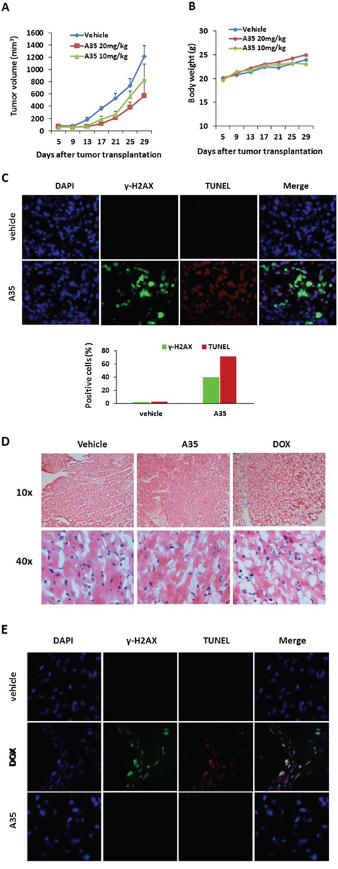 A35 suppresses tumor cell proliferation in vivo and has no toxicity in mouse hearts.