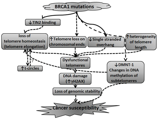 A model connecting BRCA1/2 mutations, telomere perturbations and malignant transformation.
